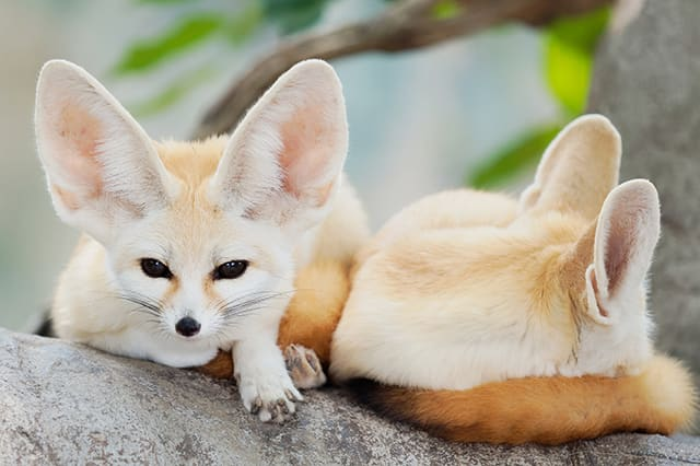 Fennec fox as pets, Thomasville Exotic Companion Mammal Vet