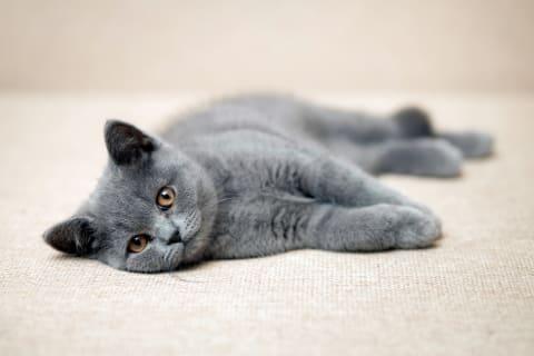 Best Indoor Cat Breeds Thomasville Vet